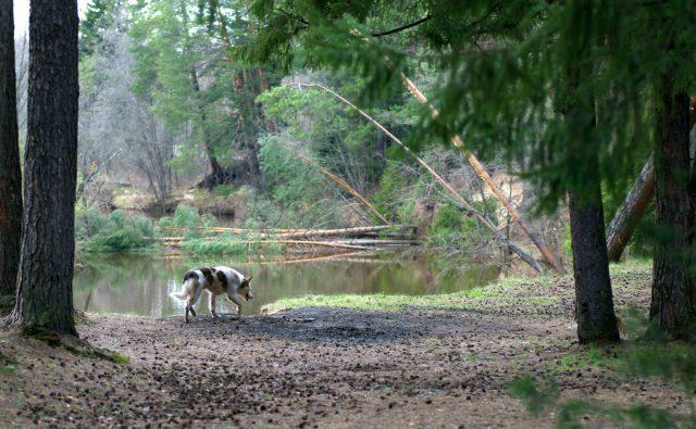 Лесной пейзаж с бродячей собакой