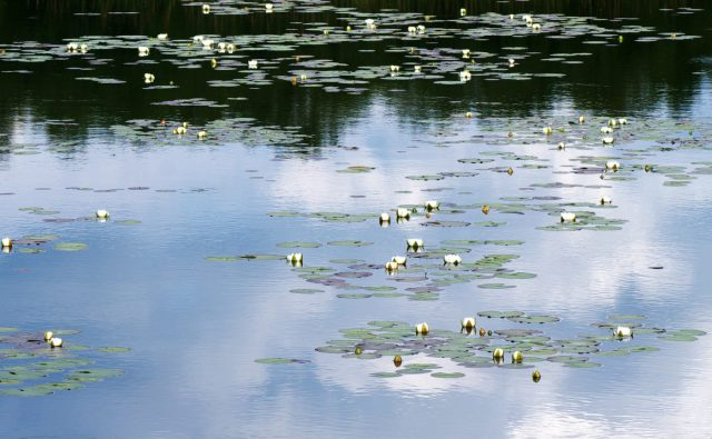 Un étang avec des nénuphars
